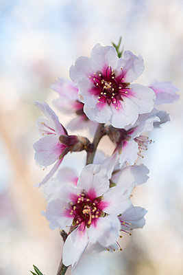 La Palma, Almond blossom - p427m2148380 by Ralf Mohr