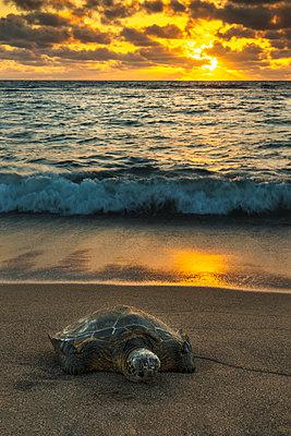 A green sea turtle  rests on the beach at sunset near Kailua-Kona; Island of Hawaii, Hawaii, United States of America - p442m1139248 by Carl Johnson