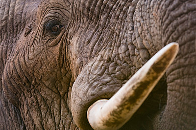 Close up portrait of an African elephant (Loxodonta africana), Tsavo, Kenya, East Africa, Africa - p871m1506390 by Sergio Pitamitz