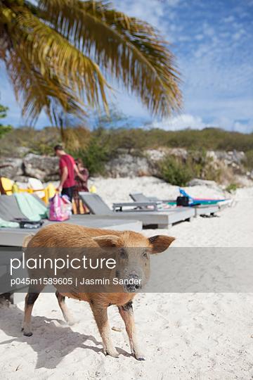 Wildes Schwein am Strand - p045m1589605 von Jasmin Sander