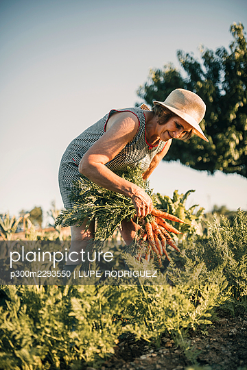 Senior female farm worker harvesting carrots at agricultural field on sunny day - p300m2293550 by LUPE RODRIGUEZ