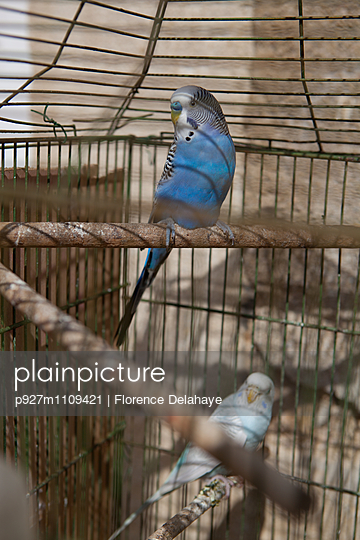 Blue Parakeet - p927m1109421 by Florence Delahaye