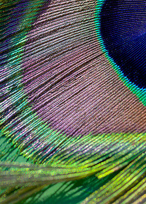 Close-up of peacock feather - p1279m1423850 by Ulrike Piringer
