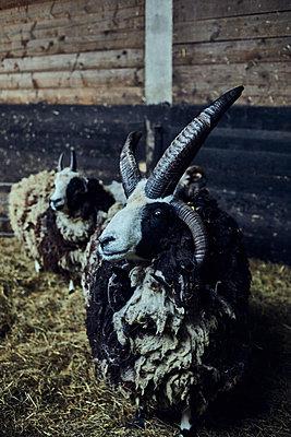 Jacob sheep - p1573m2272545 by Christian Bendel