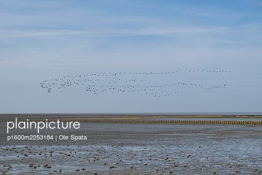 Deutschland, Schleswig-Holstein, St. Peter-Ording, Vögel im Flug - p1600m2253184 von Ole Spata