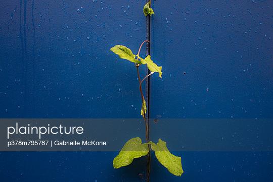 Green climber against blue - p378m795787 by Gabrielle McKone