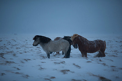 Icelandic horses in field of snow  - p1084m833083 by Operation XZ