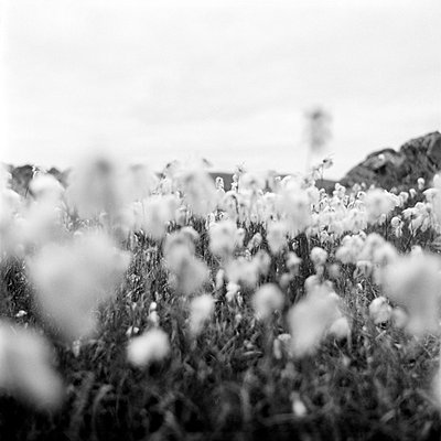 Norway - Close-up of cotton crop in a field - p3484395 by Maria Olsson