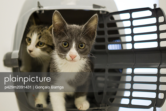 Kittens stepping out of cage - p429m2091431 by Gonçalo Barriga