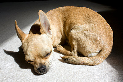 Sleeping Chihuahua - p1121m932005 by Gail Symes