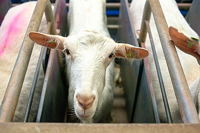 Goats - p1267m2184691 by Wolf Meier