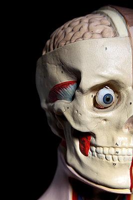 Anatomiemodell, linke Gesichtshälfte - p237m886626 von Thordis Rüggeberg
