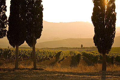 Grapevines and cypress trees, Tuscany, Italy - p429m803045f by WALTER ZERLA