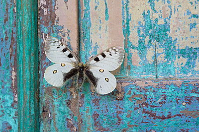 Butterfly on flaking turquoise wood - p300m2079293 by Claudia Rehm