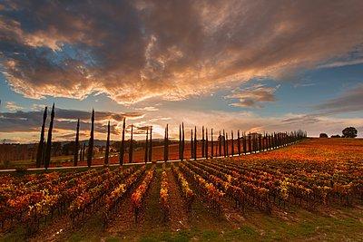 Vineyards of Sagrantino di Montefalco in autumn, Umbria, Italy - p871m2057993 by Alfonso Della Corte