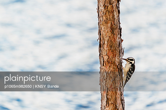 Ein Specht am Chandos Lake, Kanada - p1065m982650 von KNSY Bande