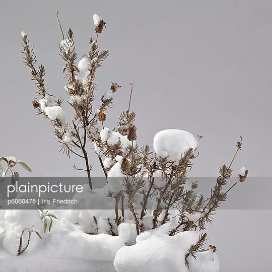 Pflanze im Schnee - p6060478 von Iris Friedrich