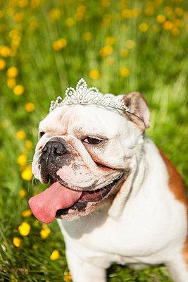 Bulldoge mit Krönchen - p045m1154786 von Jasmin Sander