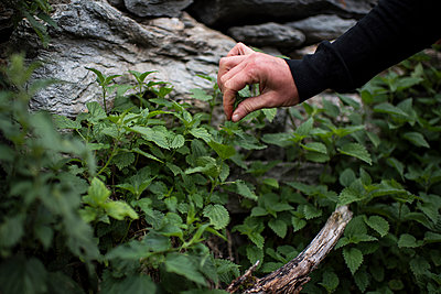 People picking up nettle for salad - p1007m1540346 by Tilby Vattard