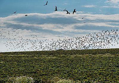 Vogelschwarm bei Hohwacht - p1649m2230579 von jankonitzki