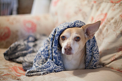 Chihuahua mix under blanket on sofa - p301m1406488 by Isabella Ståhl
