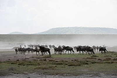 Herd of Wildebeest  stirs up dust while moving across Serengeti short grass plains near Ndutu, Ngorongoro Crater Conservation Area; Tanzania - p442m1085124f by Kenneth Whitten