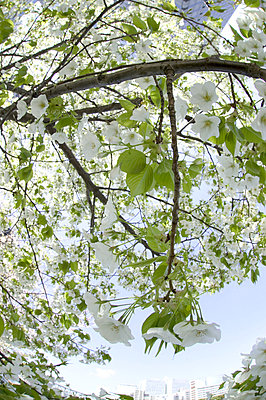 Cherry flowers on branch - p5142820f by Doable