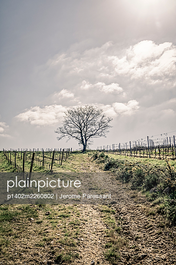 Single tree in the vineyard - p1402m2260802 by Jerome Paressant
