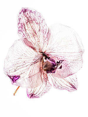 Dried orchid flower - p401m1462342 by Frank Baquet