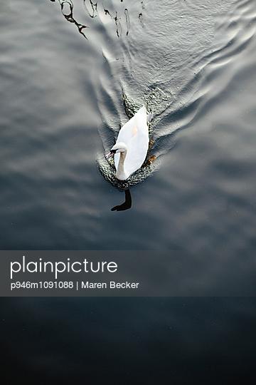 Weißer Schwan auf dem Wasser - p946m1091088 von Maren Becker