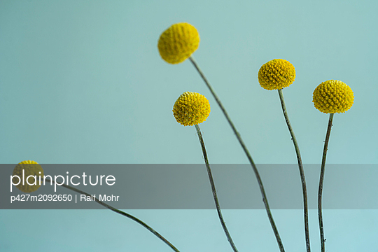 Craspedia flowers - p427m2092650 by Ralf Mohr