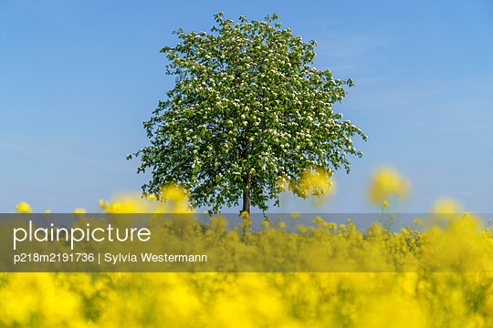 Rape field and tree in front of blue sky - p218m2191736 by Sylvia Westermann