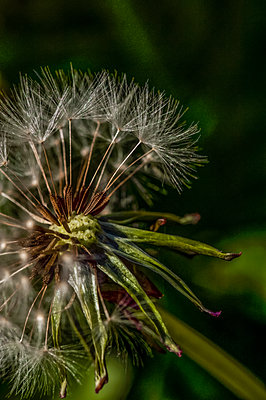Close-up of wild dandelion plant with dandelion clock half blown off by the wind - p1047m2283240 by Sally Mundy