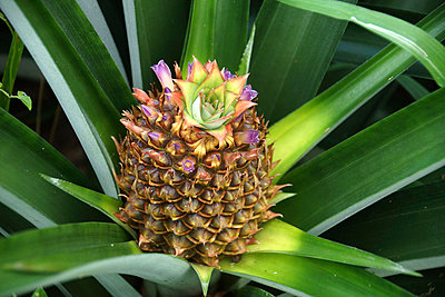 Blossoming pineapple - p162m1025635 by Beate Bussenius