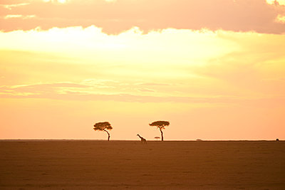Giraffe at sunset - p533m1215509 by Böhm Monika