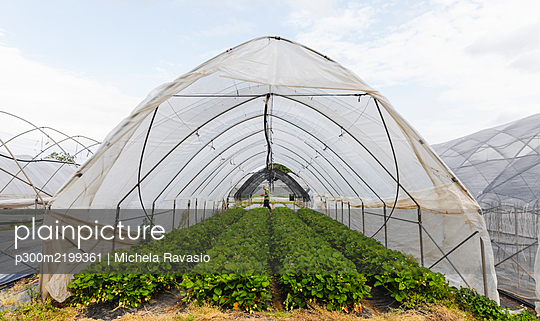 Organic greenhouse cultivation of strawberries, Verona, Italy - p300m2199361 by Michela Ravasio
