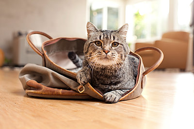 Portrait of tabby cat sitting in purse on floor at home - p1166m1403105 by Cavan Images