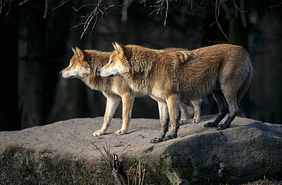 Two wolves - p330m660880 by Harald Braun