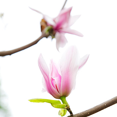 Magnolienblüte im Frühling - p606m900698 von Iris Friedrich