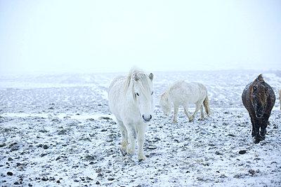 Islandponys im Schneegestöber - p606m960661 von Iris Friedrich