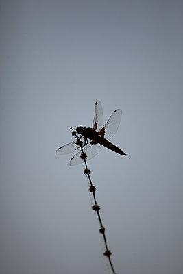 Broad-bodied Chaser dragonfly (Libellula depressa) on a stem, Jardin des Plantes, Paris - p1028m1564521 by Jean Marmeisse