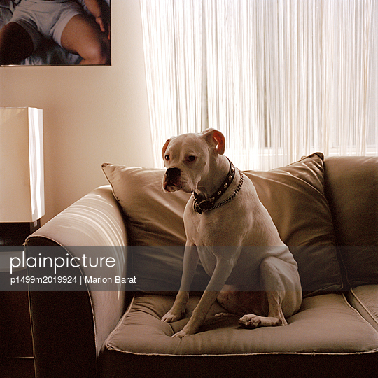 Hund auf dem Sofa - p1499m2019924 von Marion Barat