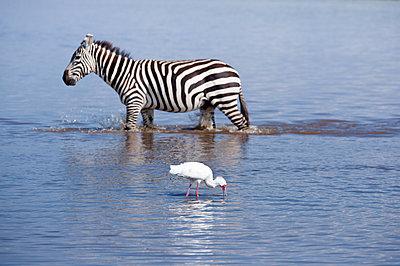 Zebra and spoonbill - p533m1152664 by Böhm Monika