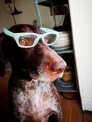 German shorthaired pointer with eyeglasses - p551m2192153 by Kai Peters