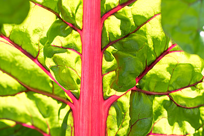 Close-up of red ruby chard leaf - p609m1101722f by STUDD