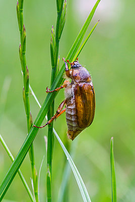 Summer Chafer , France - p884m1136562 by John Gooday/ NIS