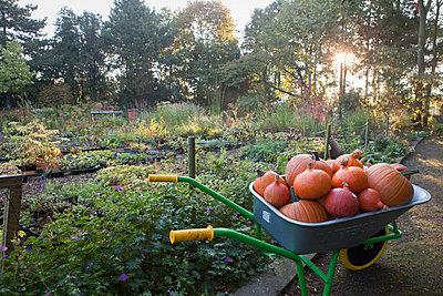 Harvesting pumpkins - p948m940171 by Sibylle Pietrek