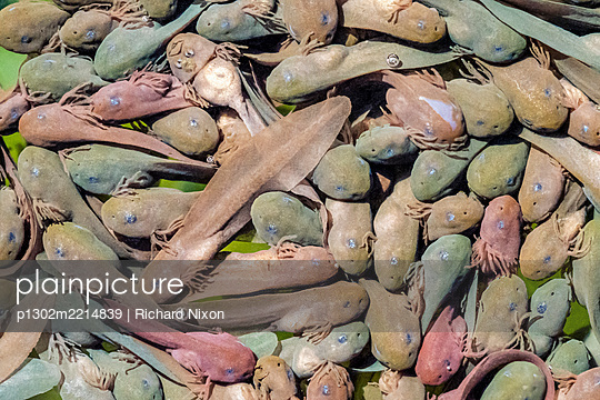 Many young common frog tadpoles - p1302m2214839 by Richard Nixon