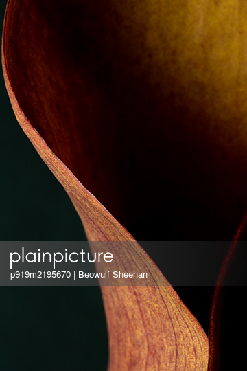 Leaf of a arum plant - p919m2195670 by Beowulf Sheehan
