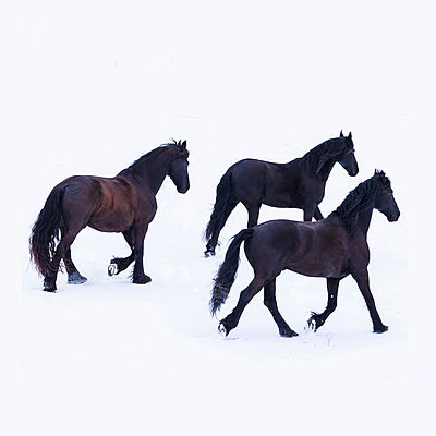 Three friesian horses in winter - p300m2005366 by Tom Chance